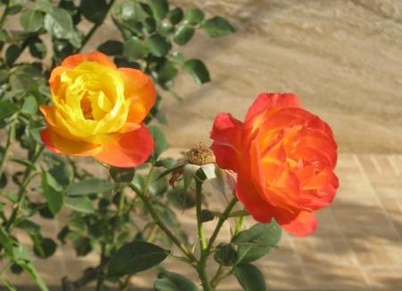 trandafir-17